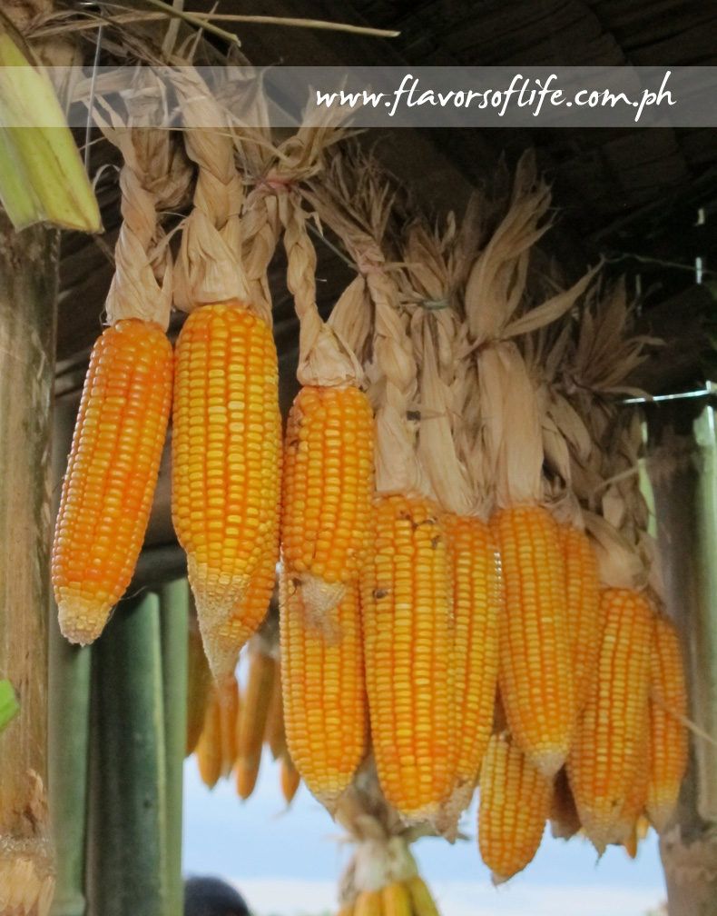 Corn is the major product of the Province of Isabela