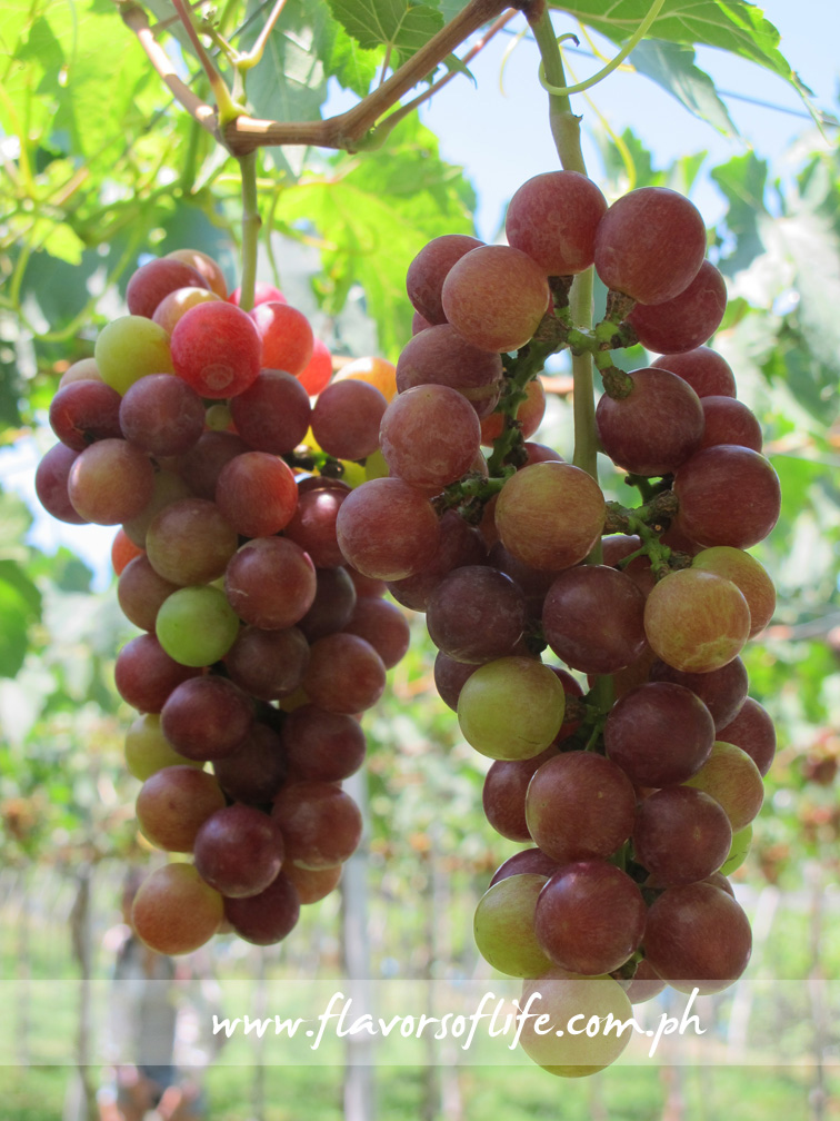 Luscious grapes hanging from overhead trellises in grape farms in La Union